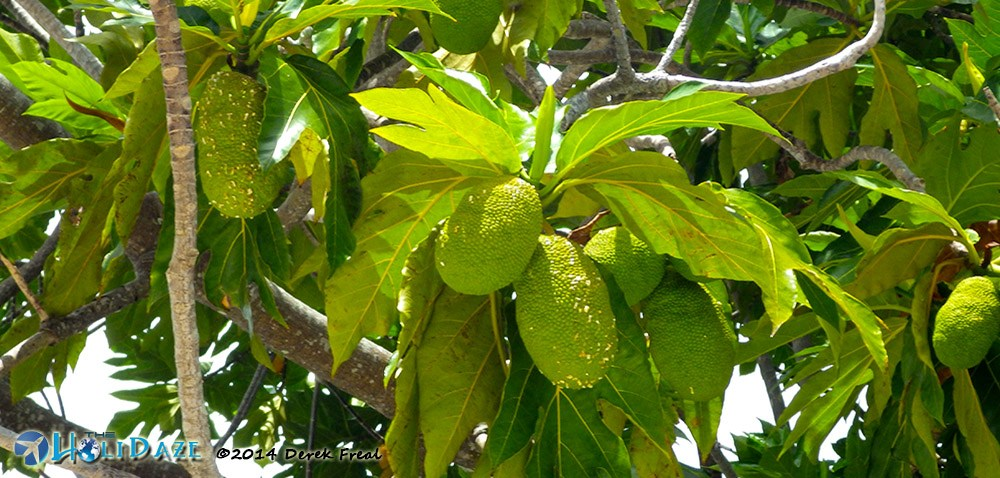 Breadfruit in Indonesia, one of the amazing, weird and exotic fruits of Southeast Asia