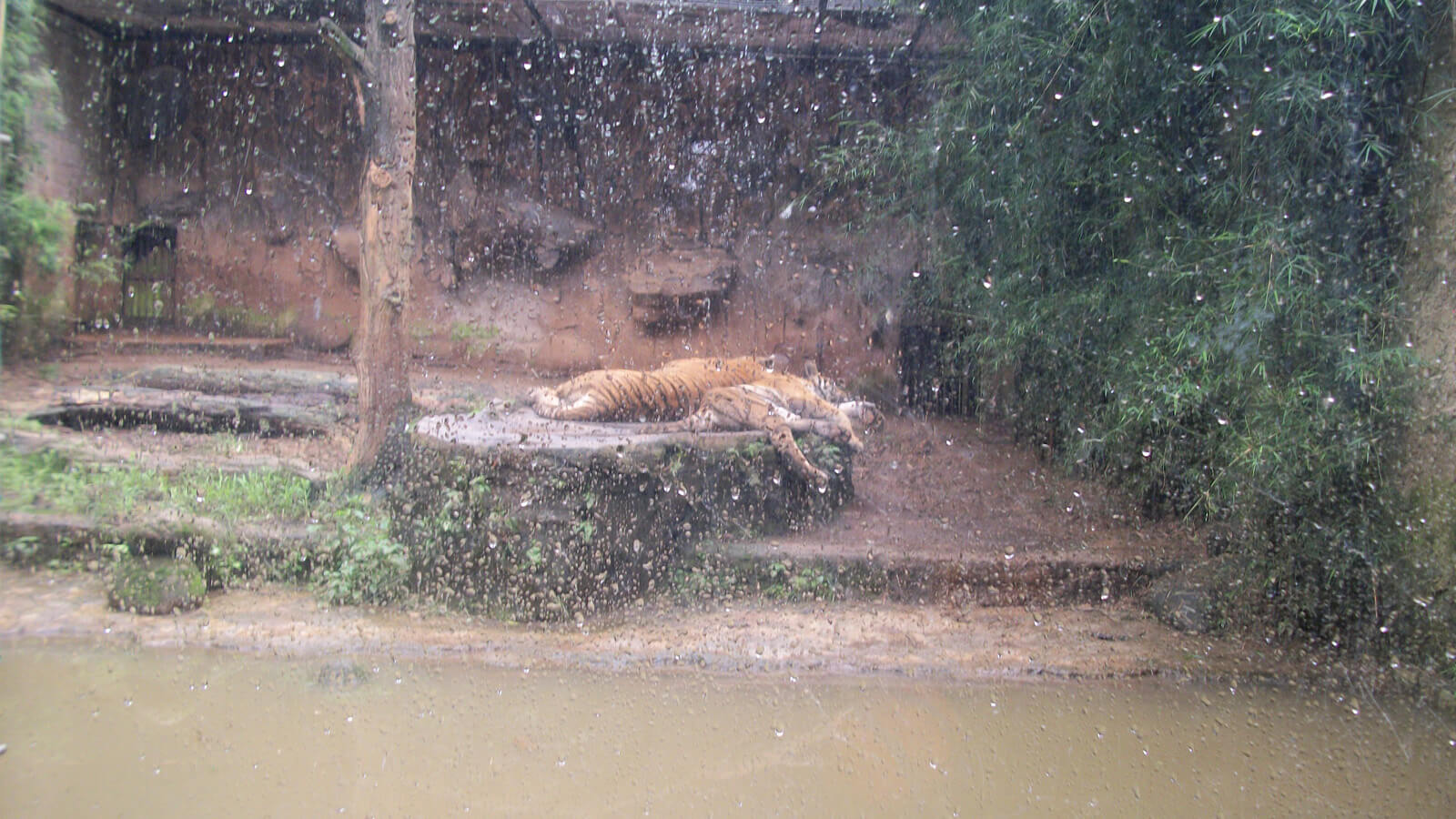Starving tigers at Kebun Binatang Bandung Zoo