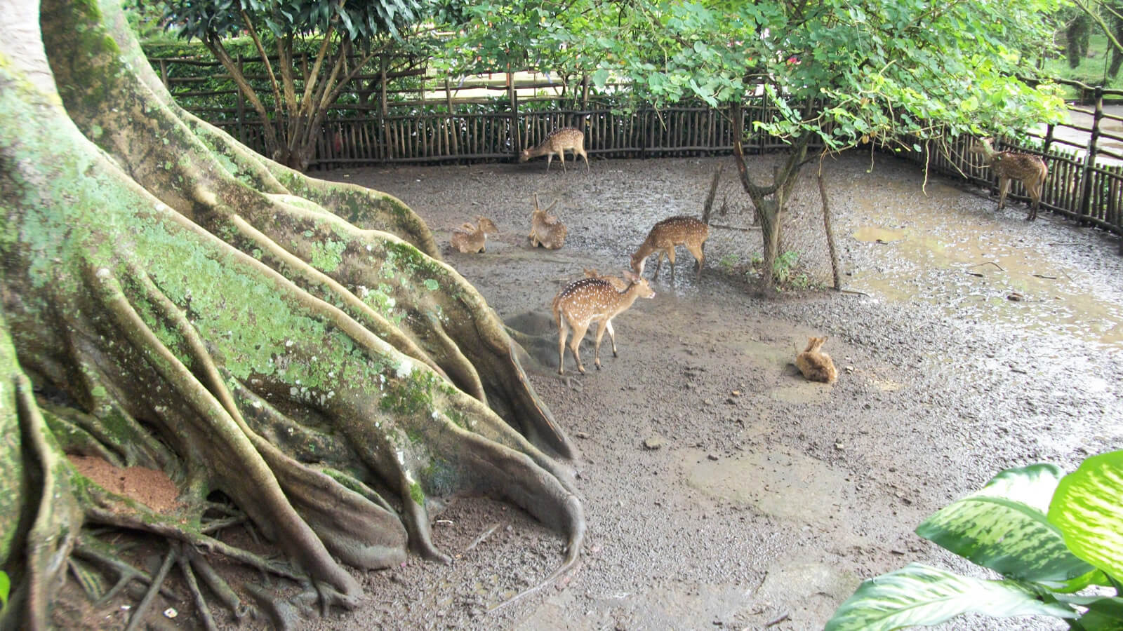 Muddy animals at Kebun Binatang Bandung Zoo