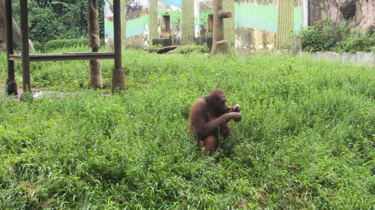 Orangutan smoking a cigarette