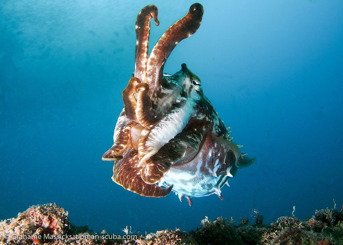 Cuttle fish in the blue, Salang, Tioman Island