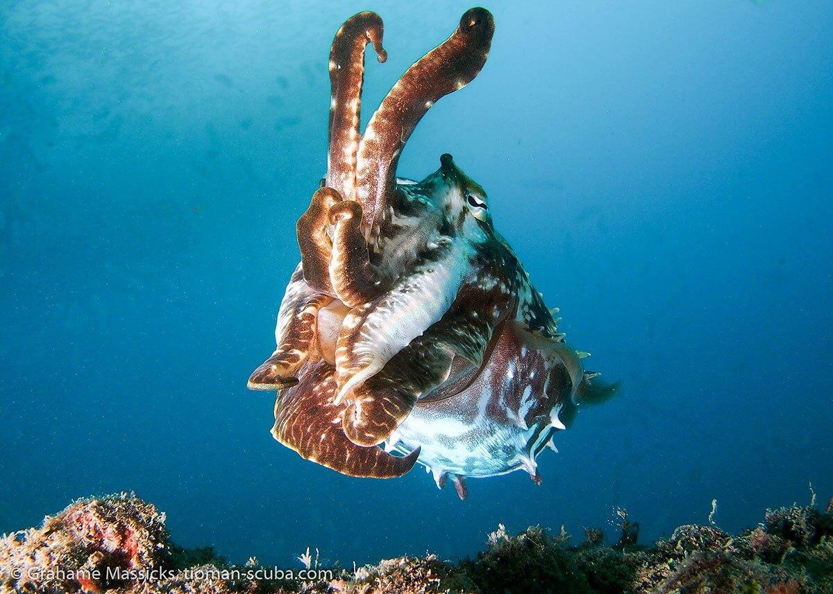 Cuttle fish in the blue, Salang, Tioman Island