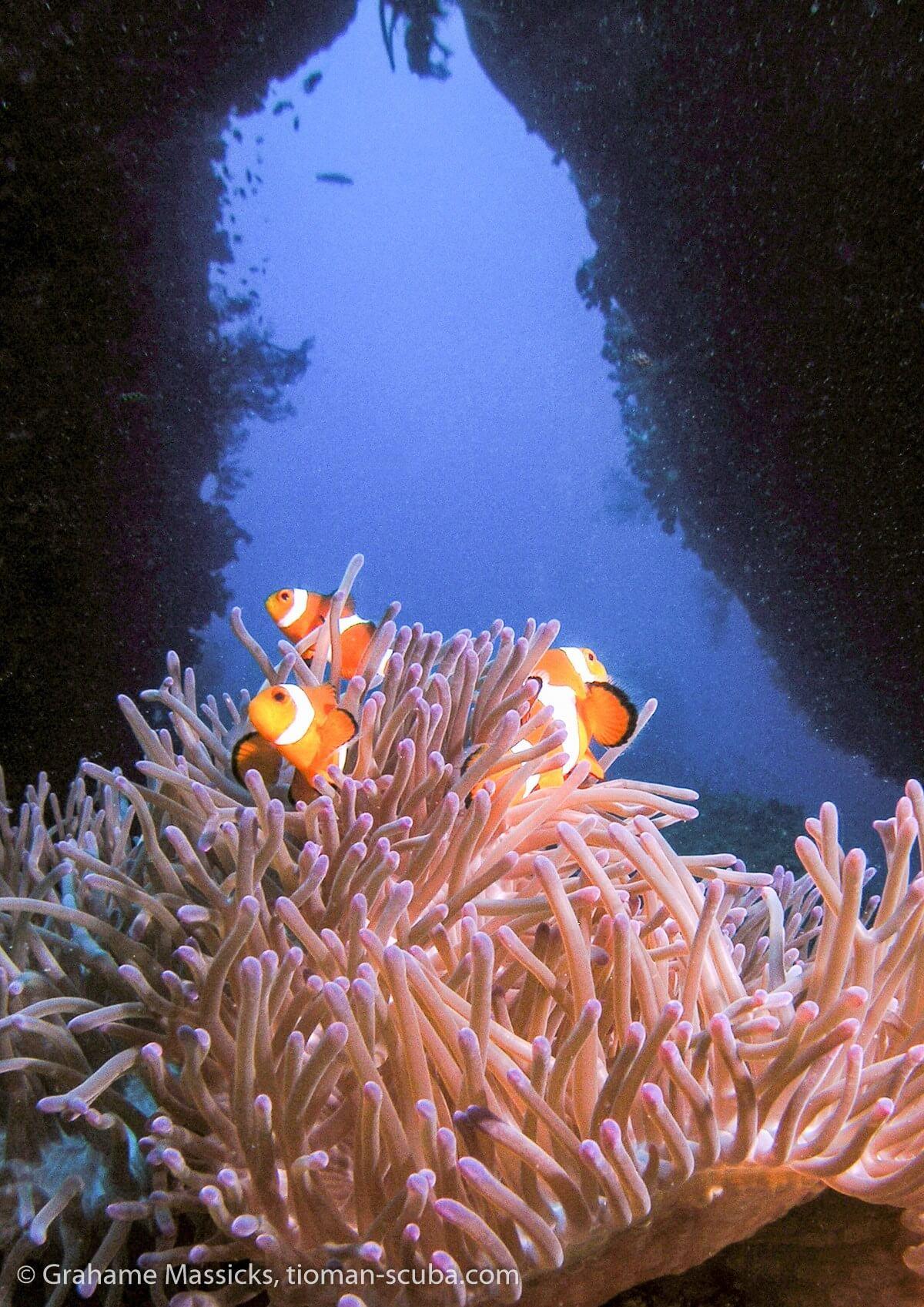 False clown fish, Salang, Tioman Island
