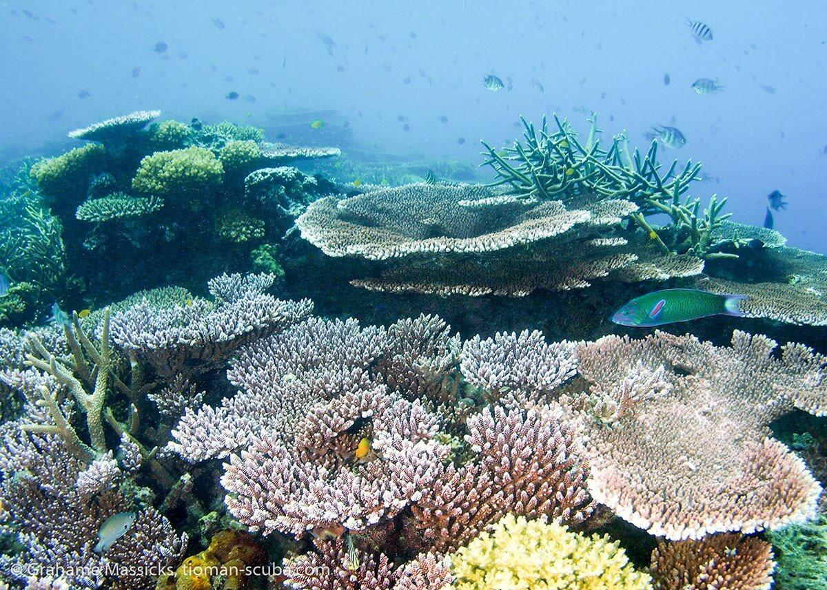 Hard coral, Salang, Tioman Island
