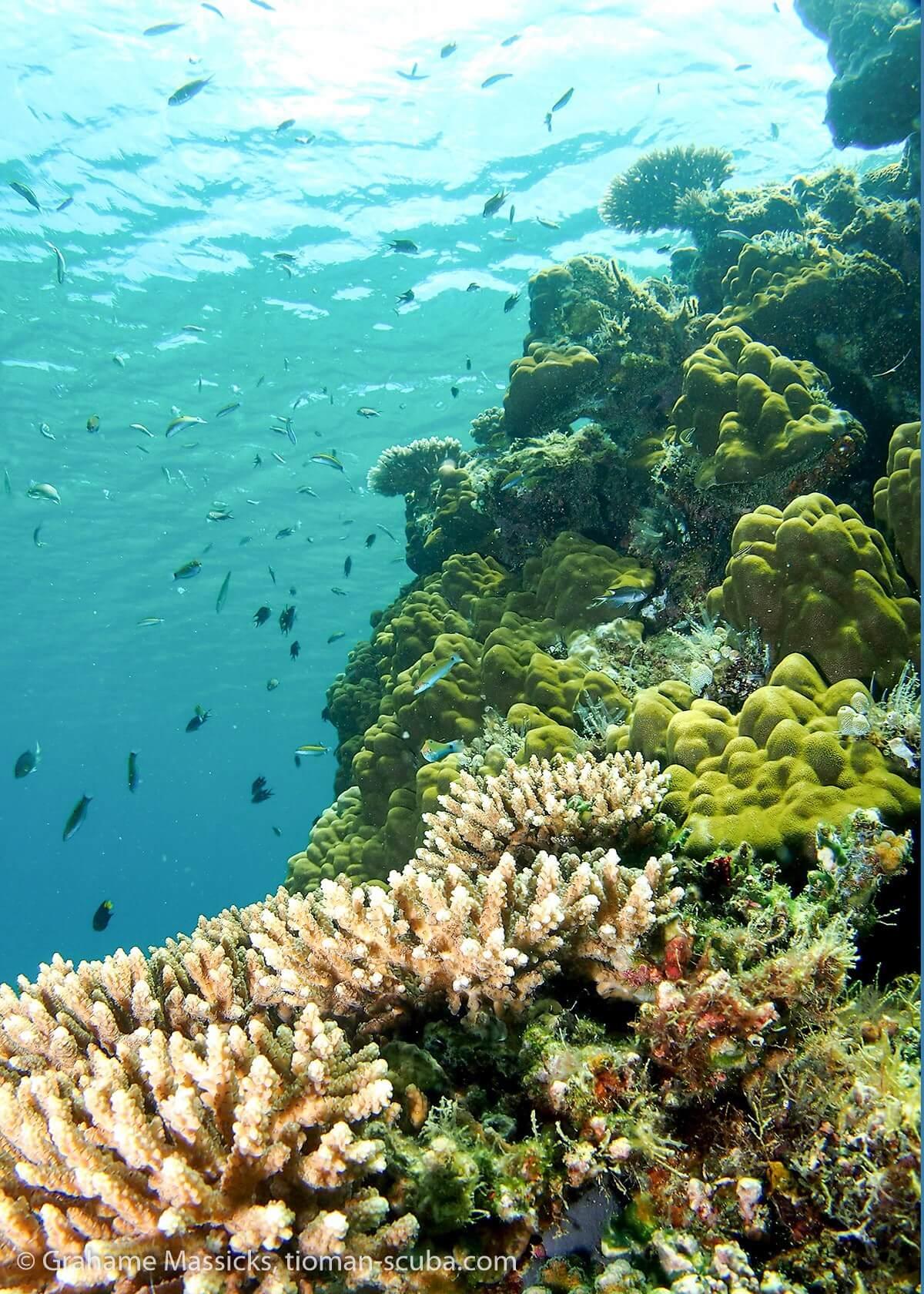 Hard coral at Salang, Tioman Island