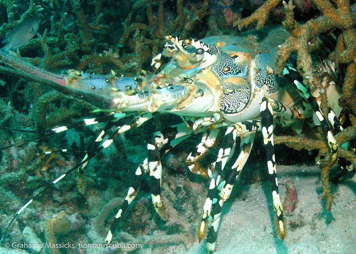 Lobster at Soyak Island, Tioman, Malaysia