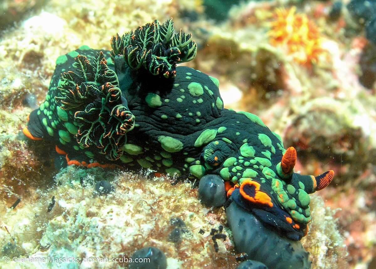 Nudibranch at lunch, Salang, Tioman Island