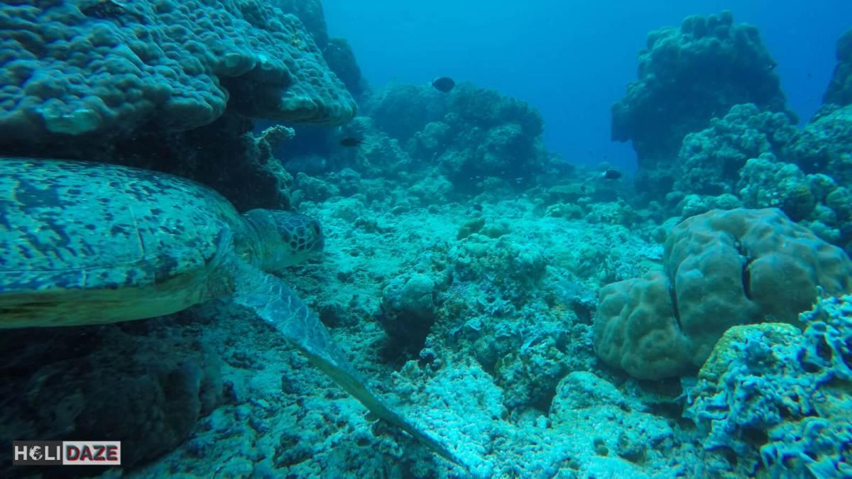 Sea turtle while diving at Sipadan Island in Sabah, Malaysia