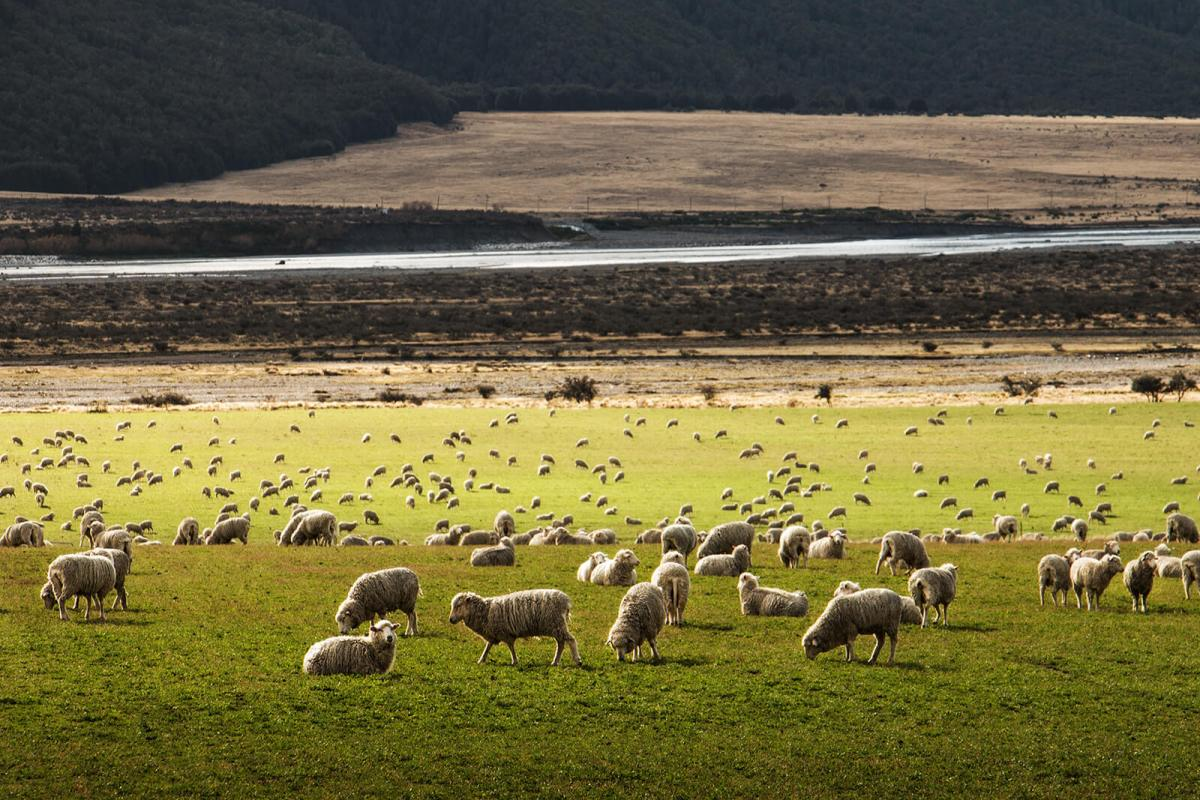 Sheep festival in New Zealand