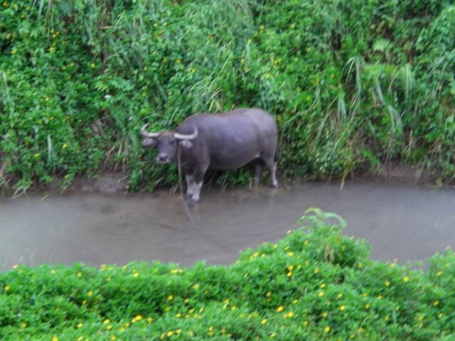 Water Bison in the Philippines jungle