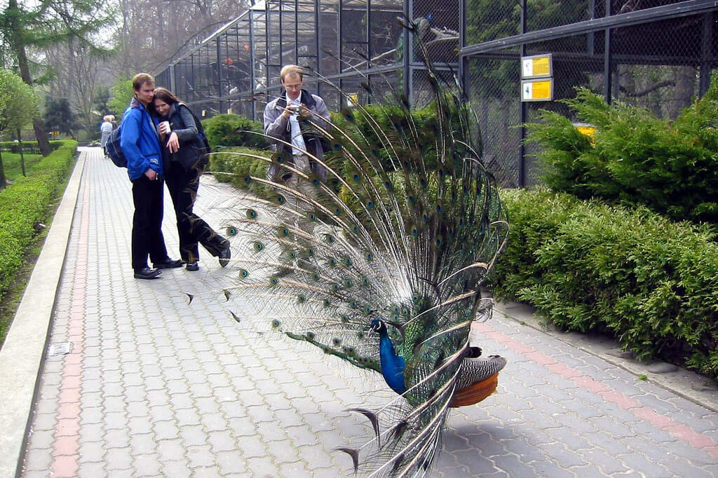 Peacock showing off at the Krakow Zoo