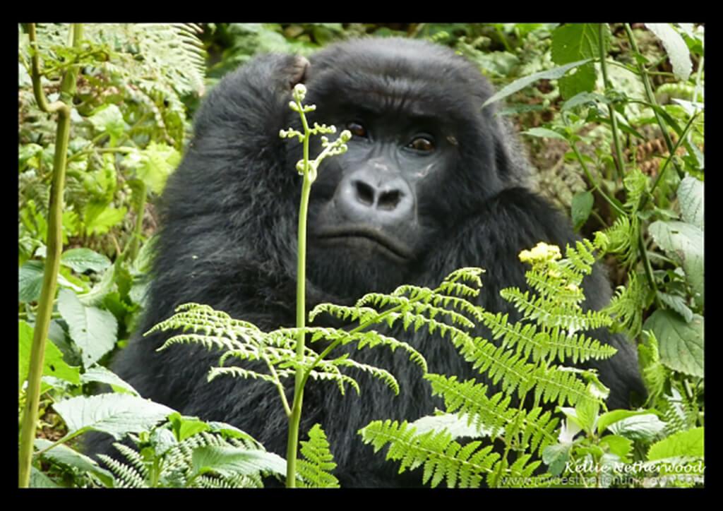 Mountain gorilla trek in Rwanda