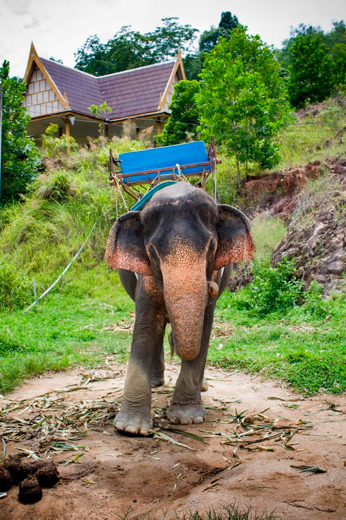 Baby elephant outside a small village in Phuket, Thailand