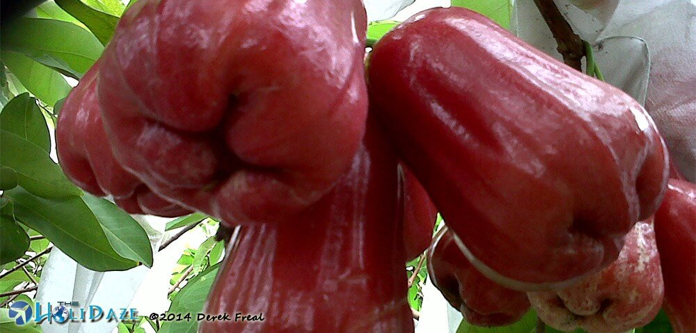 Water apple in Thailand, one of the amazing, weird and exotic fruits of Southeast Asia