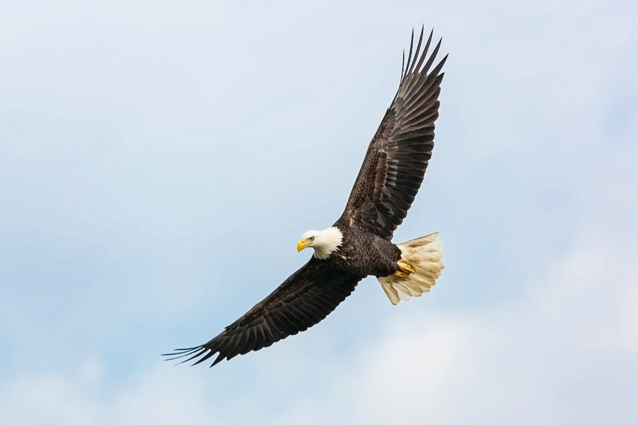 Bald eagle spotted flying over Big Bear Lake in Southern California