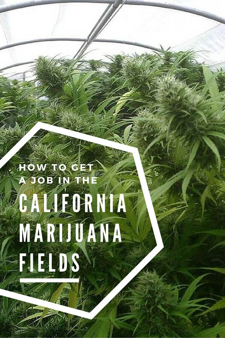 How to get a job in the California marijuana business trimming weed