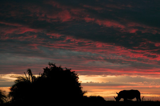 A rhino silhouted against the magnificent African sunset