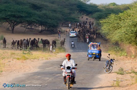 Camel traffic jam on the road to the Pushkar Camel Fair 2015