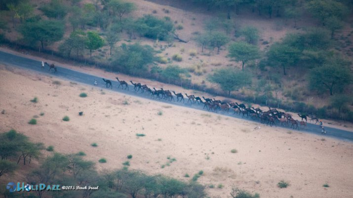 Aerial view of camel herders head to the Pushkar Camel Fair 2015