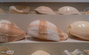 Giant seashells at the Bangkok Seashell Museum