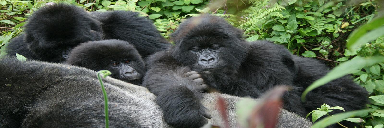 Mountain gorillas in northern Rwanda