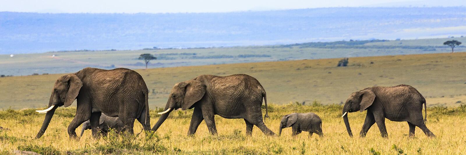 Elephants at Masai Mara 2, Nairobi City, Kenya