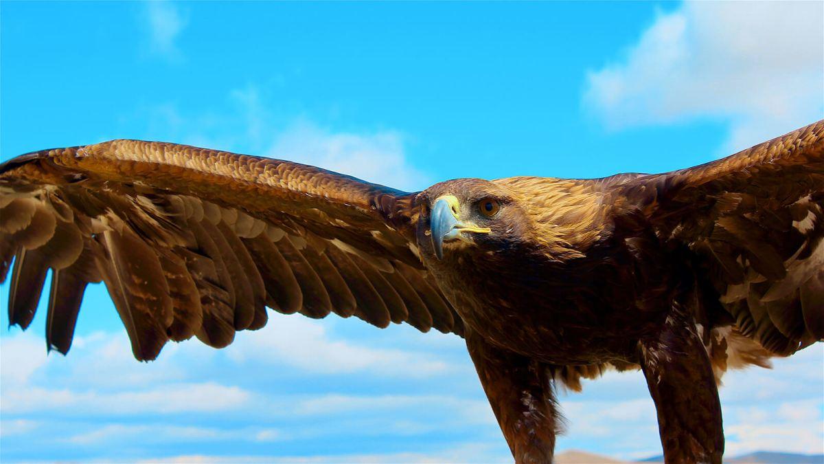 Eagle trained to hunt in Ulaanbaatar, Mongolia