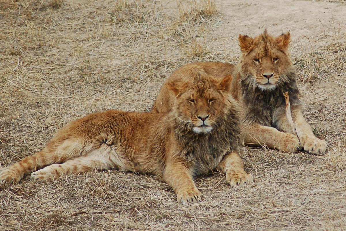 Another awesome offbeat thing to do in Colorado is to check out the Wild Animal Sanctuary