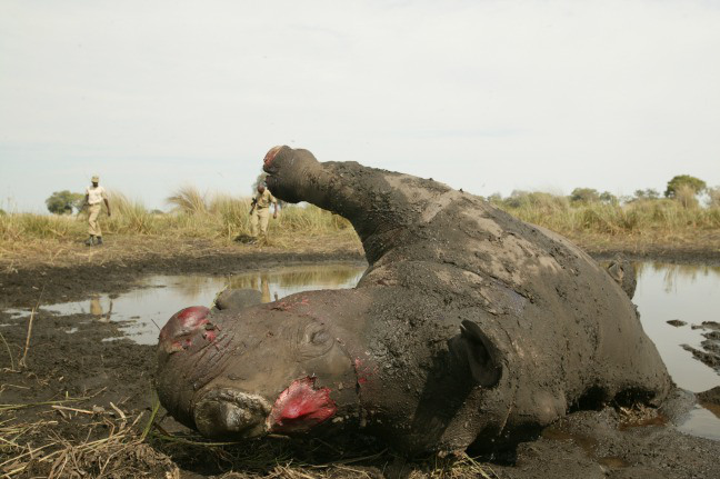Rhino poaching in South Africa is still a huge problem thanks to the high price of rhino horns