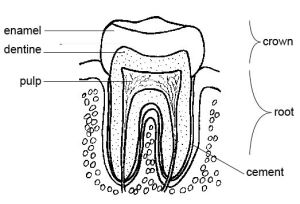 Nutrition & Your Amazing, SelfHealing Teeth | The