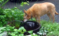 Ginger and wine barrel pond