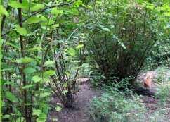 Hazelnut grove with wild roses... hen hangout