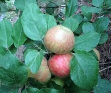 Honeycrisp apples getting ripe on tree