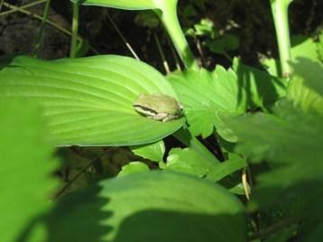 Tiny Tree frog on Hosta leaf