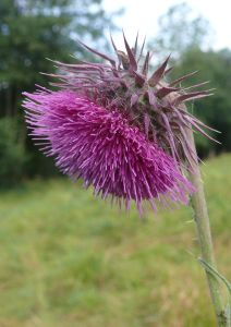 Musk thistle grows thick on my property. Image from https://en.wikipedia.org/wiki/Carduus_nutans#/media/File:Carduus_nutans_180807.jpg