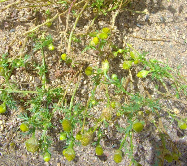 Pineapple Weed grows in small bunches very low to the ground. Pinch off a petal-less flower head and smell it - a strong, sweet vanilla scent should permeate the air, you know you've got Pineapple Weed!