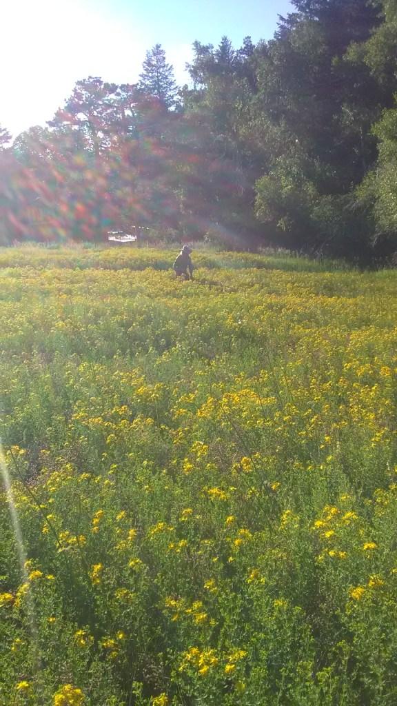 a field full of golden hypericum perforatum blossoms