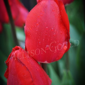 Two Tulips Wall Decor