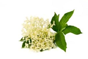 elder flower, elderflower for mead or elderflower tea
