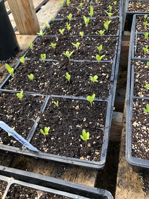 Seedlings that have been potted up.