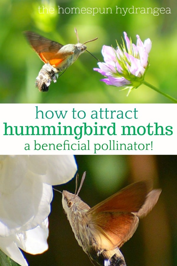 How To Attract Hummingbird Moths And Why You Should The Homespun Hydrangea