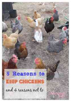 Reasons to keep and not keep chickens