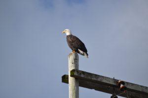 Majestic bald eagle on post