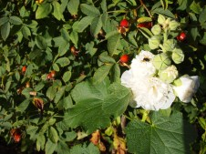Hollyhock and Rosehips
