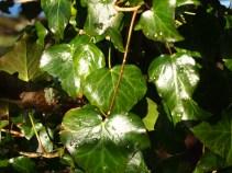 Sparkling Ivy