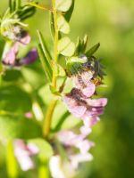 Purple Vetch (Astragalus danicus)
