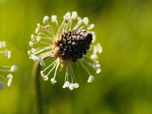Ribwort (Plantago lanceolata