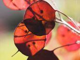 Purple Honesty (Lunaria annua)