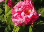 Rosa galica 'versicolor'