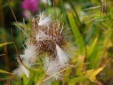 Seed time - Scotch thistle